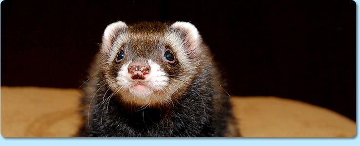 Ferret veterinarian in Bristol TN