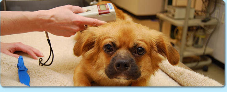 Microchipping your dog, cat